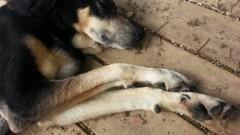 טיפול בכלבים בעזרת סו-ג'וק