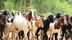 עדר עזים (צילום: אילוסטרציה)