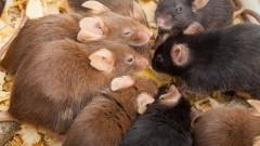 עכברי מעבדה (צילום: אילוסטרציה)