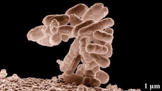 חיידק אי.קולי בהגדלה (מקור: ויקיפדיה)
