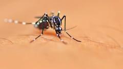 יתושה מזן aedes aegypti, המעבירה את נגיף הזיקה (צילום: אילוסטרציה)