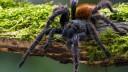 עכביש, טרנטולה (צילום: אילוסטרציה)