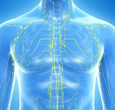 מערכת לימפטית (אילוסטרציה)